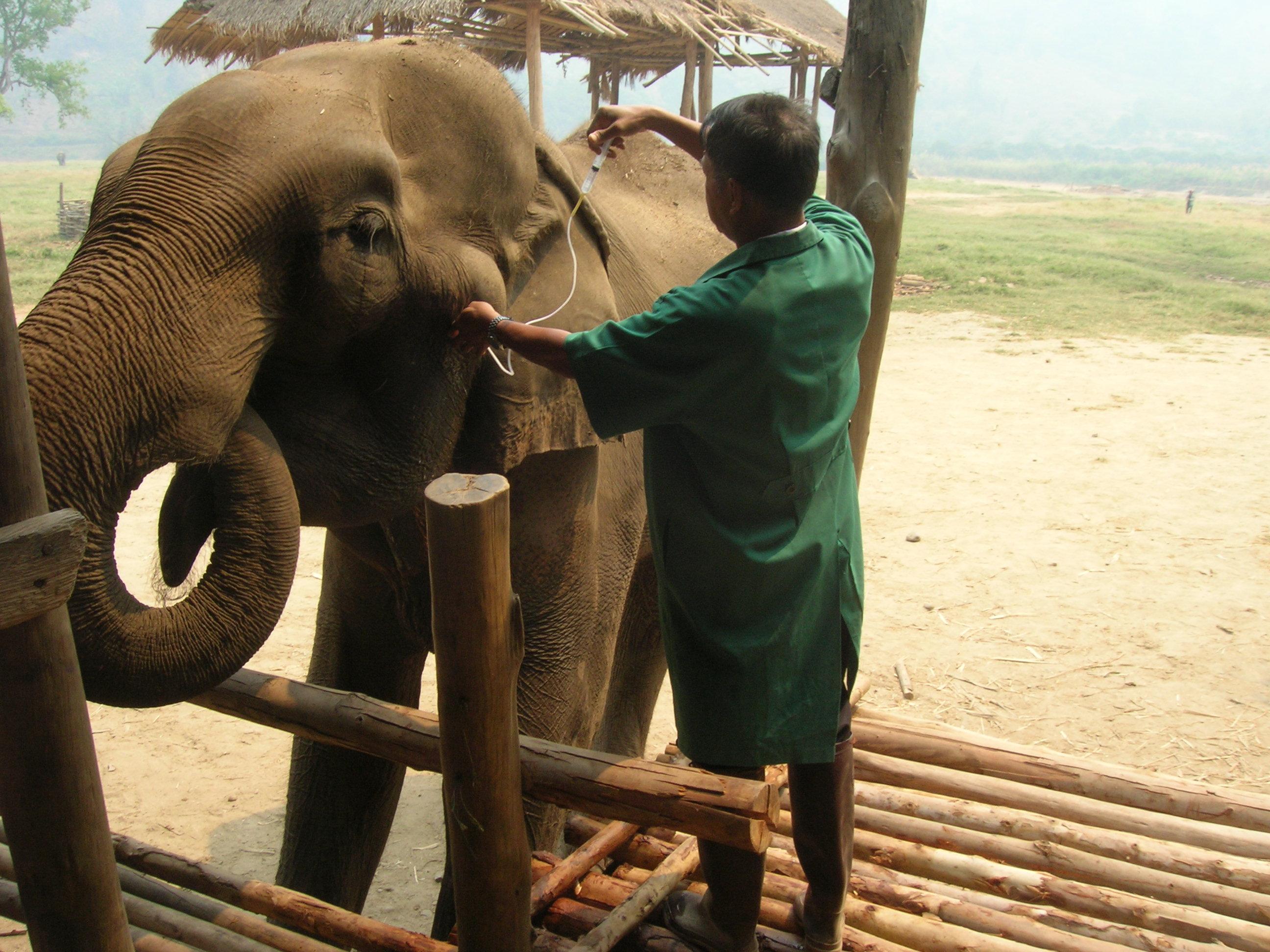 Vet treating elephant
